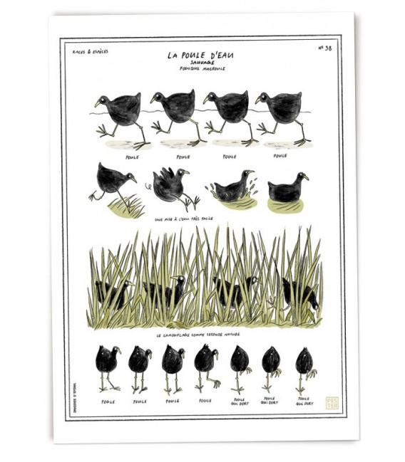 """Grande affiche """"Poule d'eau"""""""