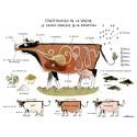 """Image """"Constitution de la vache"""""""
