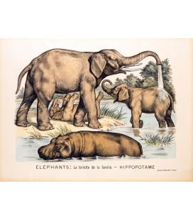 ÉLÉPHANTS : LA TOILETTE DE LA FAMILLE - HIPPOPOTAME