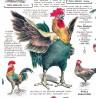 """Affiche """"Coqs et poules"""""""