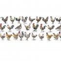 Poules et coqs - décor panoramique