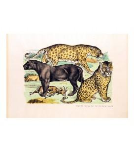 La panthère et les léopards